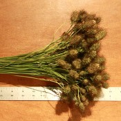 Dried Cone Scabiosa for Sale