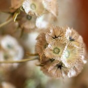 Dried Scabiosa for Sale