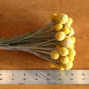 Dried Yellow Craspedia for Sale