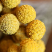 Dried Craspedia Yellow for Sale from LoveJoy Farms in Pasco, Washington