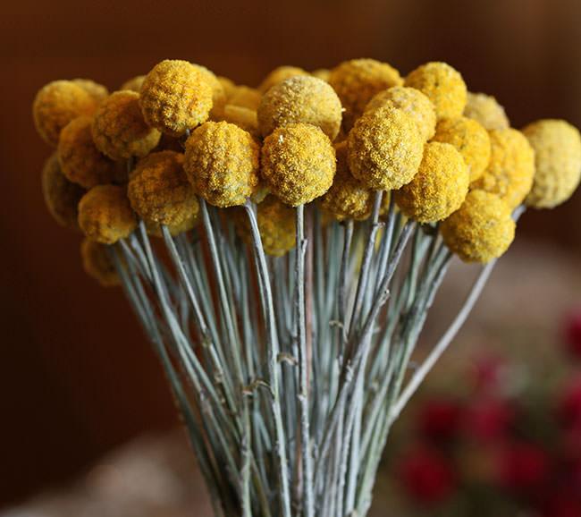 Craspedia drumstick flower billy balls lovejoy farms washington dried craspedia yellow for sale from lovejoy farms mightylinksfo