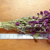 Dried Globe Amaranth Purple for Sale