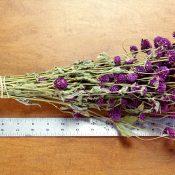 Dried Globe Amaranth Purple for Sale