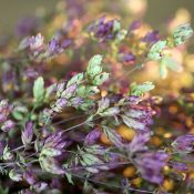 Santa Cruz Oregano for Sale LoveJoy Farms