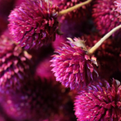 Purple Globe Amaranth for sale at Lovejoy Farms