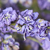 Lilac Larkspur for sale at LoveJoy Farms
