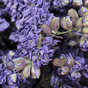 Lilac Larksput for sale at LoveJoy Farms