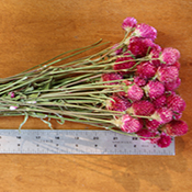Hot Pink (Fuschia Pink) Globe Amaranth for sale at Lovejoy Farms