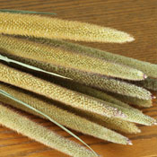 Pearl Millet for Sale LoveJoy Farms