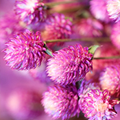 Bi-Color Globe Amaranth for sale at Lovejoy Farms