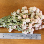 White (Cream) Globe Amaranth for sale at Lovejoy Farms