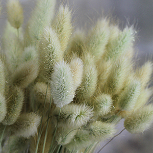 Bunnytail heads for sale at Lovejoy Farms